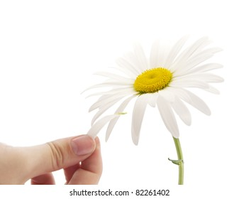 chamomile on a white background