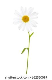 Chamomile (Ox-Eye Daisy ) isolated on white background.