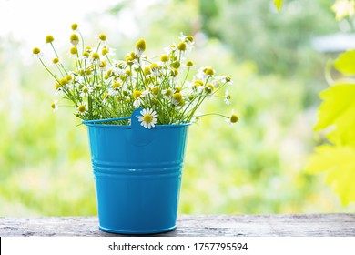 Chamomile plant bloom herbs lying on a stone desk ina spring garden