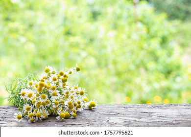 Chamomile plant bloom herbs lying on a wooden desk ina spring garden