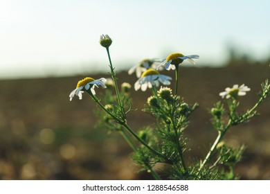 Chamomile Plant on a Field