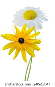 Chamomile and rudbeckia isolated on white background