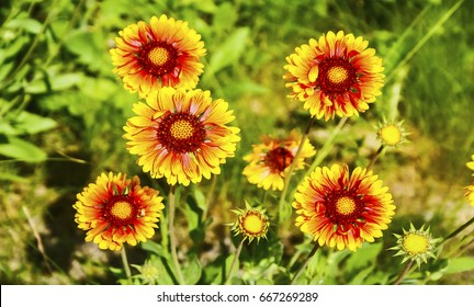 chamomile, summer landscape, bright yellow and orange flowers