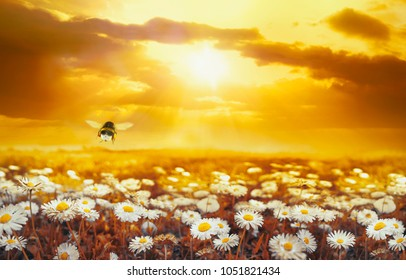 A lot of chamomile in summer meadow in nature in sunshine at sunset and a flying bumblebee. Beautiful summer landscape with field of daisies in golden colors of sunset. Summer wallpapers.