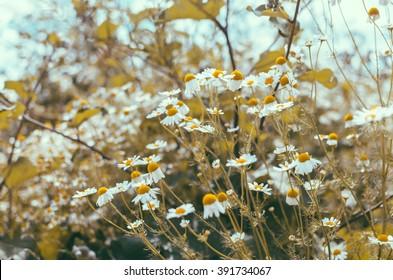 Chamomile in the village summer yellow garden