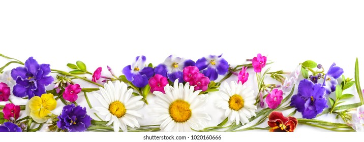 Chamomile and Violet isolated on white background. Flat lay, top view. Free space for text. Wide photo.