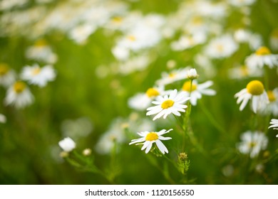 Chamomile (wild Daisies) Spring flowers field background. Nature scene with blooming medical Chamomile. Alternative medicine. Field of daisy flowers, selective focus.