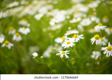 Chamomile (wild Daisies) Spring flowers field background. Nature scene with blooming medical Chamomile. Alternative medicine. Field of daisy flowers, selective focus. .