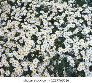 chamomile,medicinal plant. lots of daisies in the meadow. Beautiful natural background.