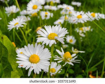 chamomiles in the Belarusian meadow, chamomile on a meadow. daisy
