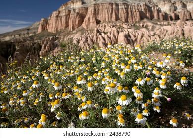chamomiles in Cappadocia