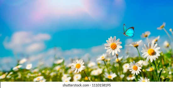 Chamomiles daisies macro in summer spring field on background blue sky with sunshine and a flying butterfly, nature panoramic view. Summer natural landscape with copy space