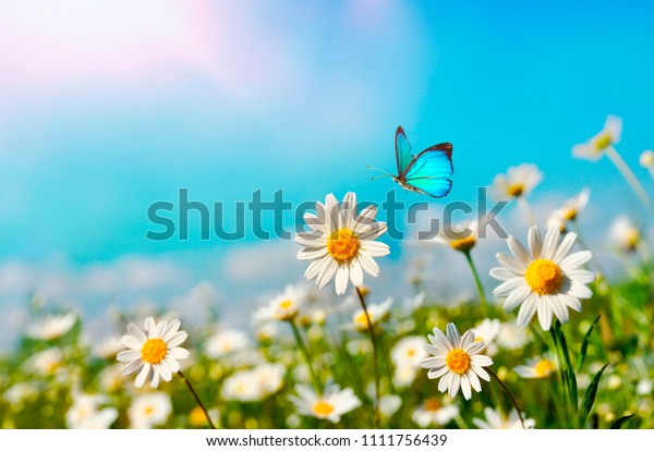 Chamomiles daisies macro in summer spring field on background blue sky with sunshine and a flying butterfly, close-up macro. Summer natural landscape with copy space.