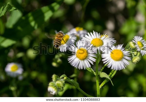 Chamomiles flower macro shot. A wasp on chamomile flower.