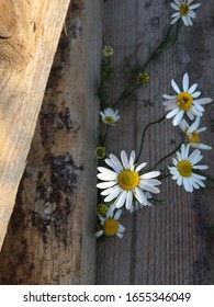 Chamomile`s growing from wood log. Summertime phot. Top view. Sun shining and making some natural shadow`s.
