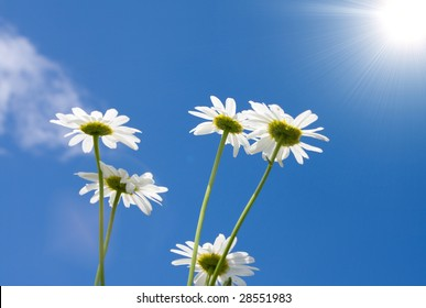 chamomiles on a sky background