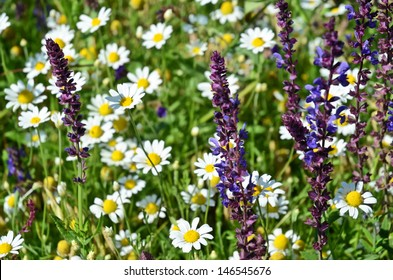 Chamomiles and Purple Wild Flowers