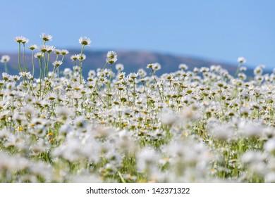 Chamomiles summer field