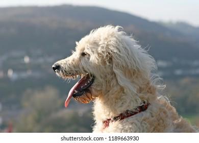 Champagne coloured Labradoodle dog