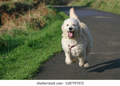 Champagne coloured labradoodle running along path