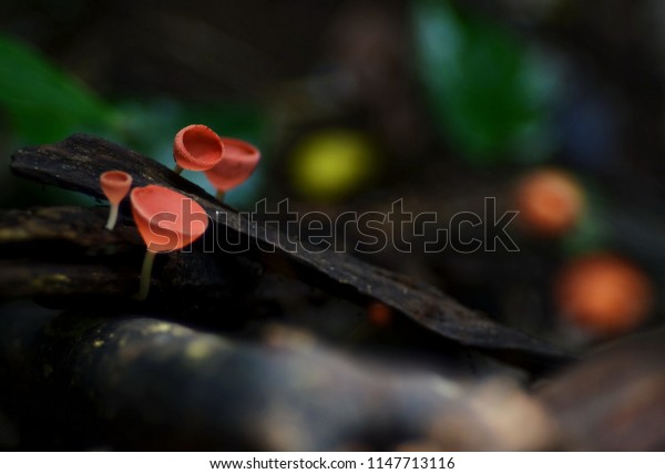 Champagne mushroom in a rainforest southern of Thailand