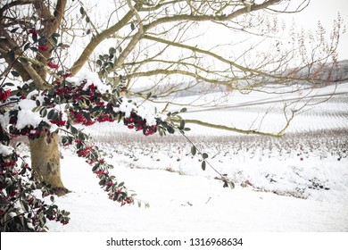 Champagne vineyard during winter