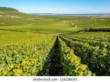 Champagne vineyards at harvest time