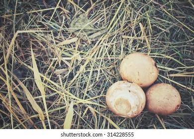 Champignon mushrooms on dried grass