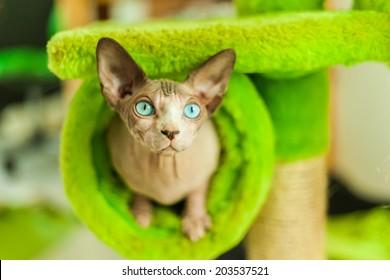 Champion Sphinx cat