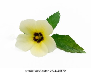 """Chanana (Turnera Subulata) in Brazil known as """"Damiana or Flor do guarujá"""" native to tropical America. Edible and for medical use. Considered PANC (not conventional food plant)."""