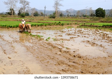 CHANDRAPUR, MAHARASHTRA, INDIA 18 FEBRUARY 2016 : Unidentified Indian farmer working with bull in the rice paddy, An Indian farming scene