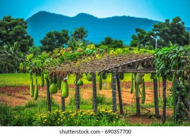 Chang Hua Man is a Royal Agricultural Project near Hua Hin, Thailand.