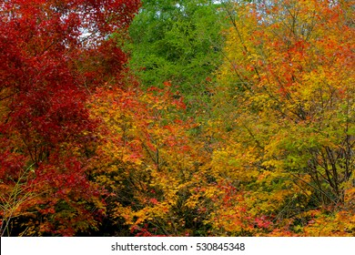 change : Maple leaf on the tree when the leaves change color in Japan,Leaves change color