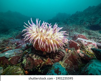 A changeable anemone (Anemonia mutabilis) invertebrate on a rocky reef off Vancouver Island, British Columbia, Canada.