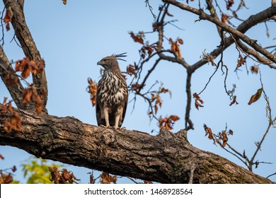 changeable or crested hawk eagle (nisaetus cirrhatus) perched on sky background on a mahua tree at bandhavgarh national park, madhya pradesh, india