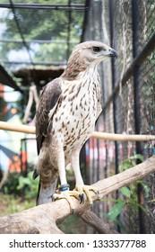 Changeable hawk eagle  in the zoo. Thailand
