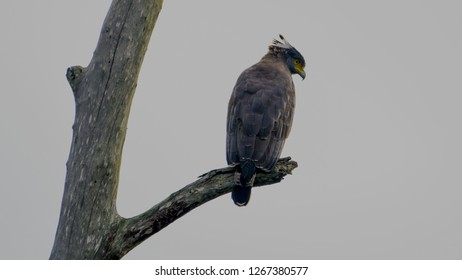 The changeable hawk-eagle or crested hawk-eagle (Nisaetus cirrhatus) is a bird of prey species of the family Accipitridae. Shot from back showing the crest slightly open. Shot taken at Kabini forest