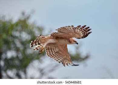 Changeable hawk-eagle, Nisaetus cirrhatus, close up, flying eagle with outstretched wings, Wilpattu national park, Sri Lanka. Wildlife photography.