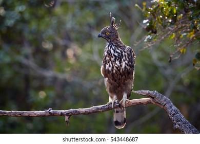Changeable hawk-eagle, Nisaetus cirrhatus, close up, bird of prey perched on branch in Wilpattu national park, Sri Lanka. Wildlife photography.