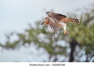 Changeable hawk-eagle, Nisaetus cirrhatus, close up, flying eagle in Wilpattu national park, Sri Lanka. Wildlife photography.