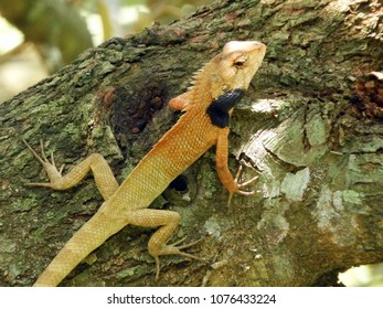 Changeable Lizards eat mainly insects and small vertebrates, including rodents and other lizards. Although they have teeth, these are designed for gripping prey and not tearing it up.