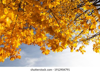 changing the color of maple in the autumn season, the foliage of the maple tree is damaged and will fall, deciduous trees including maple before leaf fall, close up