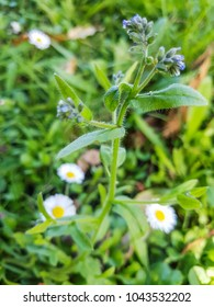 Changing forget-me-not flower, Myosotis discolor, growing in Galicia, Spain