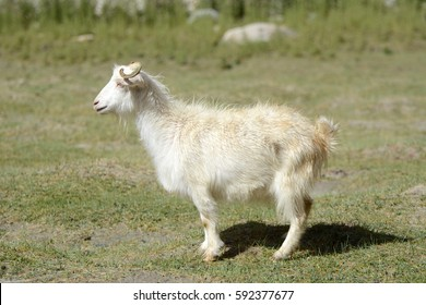 The Changthangi or Pashmina goat is a breed of goat inhabiting the plateaus in Tibet and neighbouring areas of Ladakh in India. They are raised for ultra-fine cashmere wool known as pashmina.