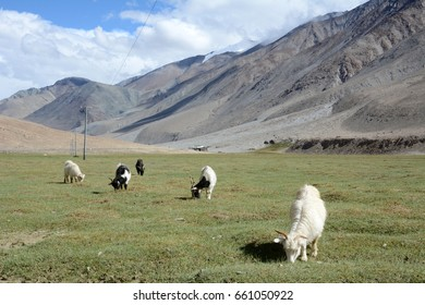 The Changthangi or Pashmina goats grazing in the pastures of Ladakh, India. They are raised for ultra-fine cashmere wool known as pashmina.