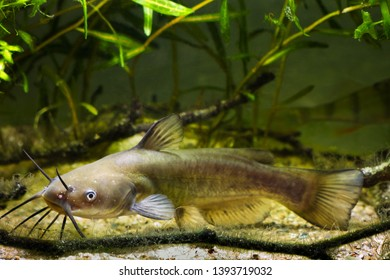 Channel catfish, Ictalurus punctatus, dangerous invasive freshwater predator in European biotope fish aquarium watch attentively