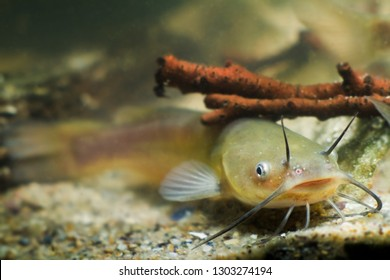 Channel catfish, Ictalurus punctatus, freshwater fish in European biotope aquarium, detail of tank