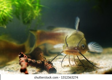 Channel catfish, Ictalurus punctatus, freshwater predator in European biotope fish aquarium