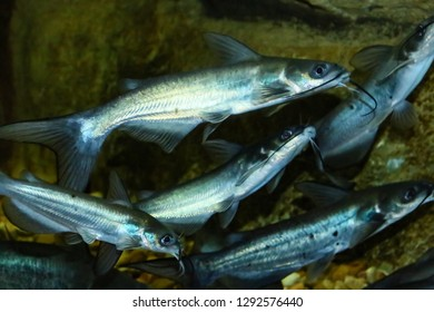 The channel catfish (Ictalurus punctatus), invasive species in Spain. The channel catfish is North America's most numerous catfish species.