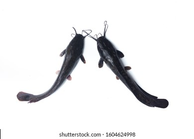 Channel catfish isolated on a white background. ,selective focus